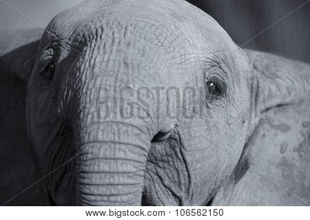 Elephant Head And Eye Close-up  Detail Artistic Conversion