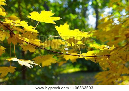 Maple Branch With Yellow Leaves In The Foreground
