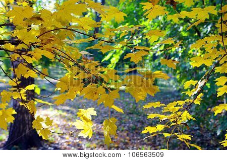Maple Branches With Yellow Leaves In The Foreground