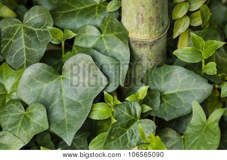 Hedera Helix, Common Ivy, Leaves And Bamboo Stem