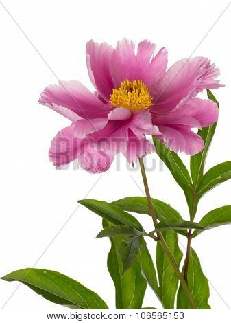 Peony Flower On A White Background
