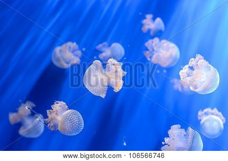 White Transparent Jellyfish Or Jellies, Medusa, Swiming In A Blue Aquarium