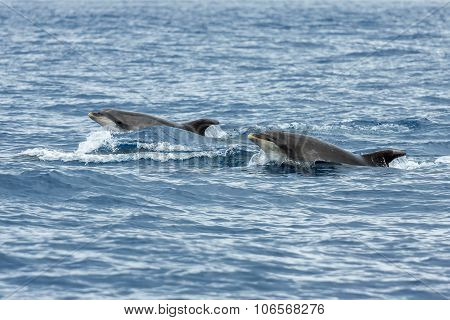 Dolphins In The Ocean Near Vila Franca Do Campo In Sao Miguel, Azores Islands