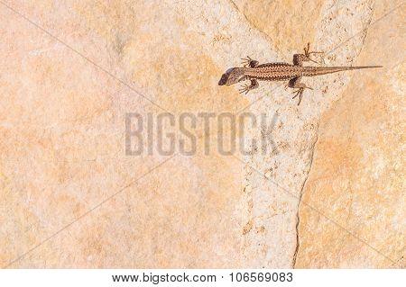 Brown Gecko Lizard Sunbathing On The Rocks