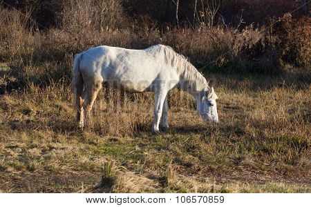 One White Horse With Chain In Autumn