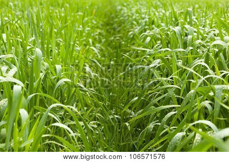 Path Over Corn Field