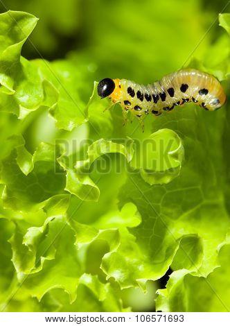 Caterpillar Over Lettuce Background
