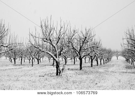Orchard In Countryside With Snow