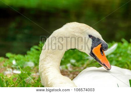 A Swan Crying By The River