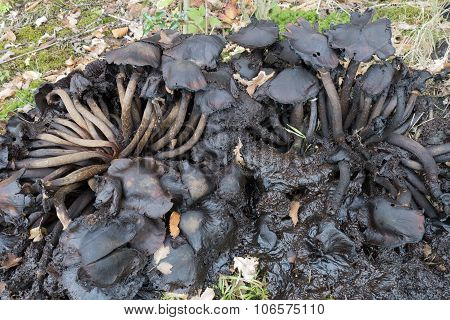 Rotting Armillaria Honey Fungi.