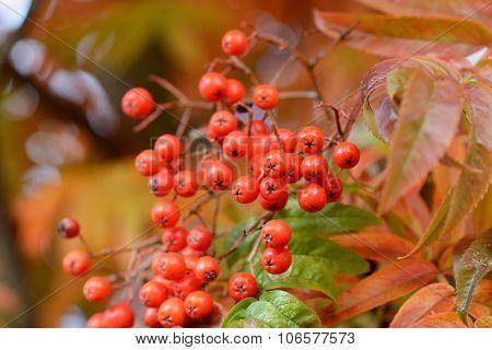 Close-up Of Red Rowan Berries