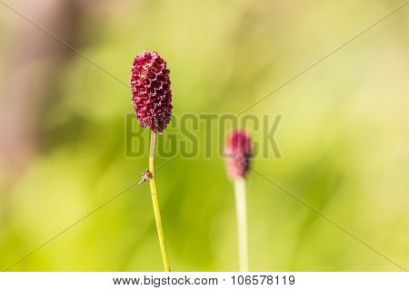 Colorful  Red Sanguisorba Officinalis In Garden