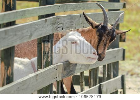 Brown And White Goat Portrait In Farm