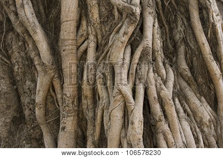 Tropical Banyan Tree Roots