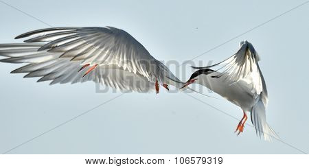 The Tern flies holding a beak a tail of other Tern.