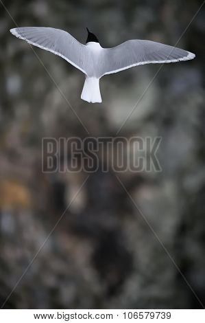 Common Tern ( Sterna Hirundo )