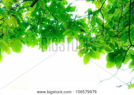 Artistic Green Tree Leaves From Inside, With Glowing White Empty Space