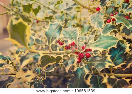 Vintage Retro Aged Artistic Edit Of Red Holly Berries Between The Green Leaves