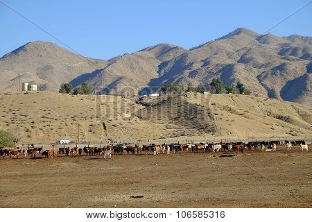 Feed Lot Cattle