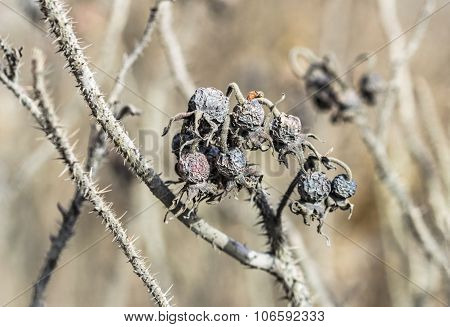 Dry Colored Dogrose Berries