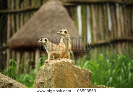 Two Meerkats - Suricates (suricata Suricatta) On A Rock