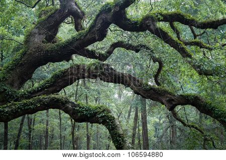 Angel Oak Tree Branch