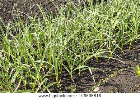 Green Garlic