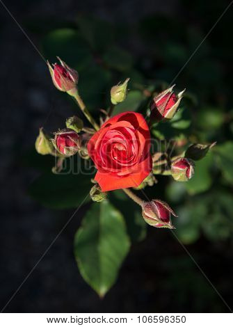 Red Rose Romantic Flower With Blossoms