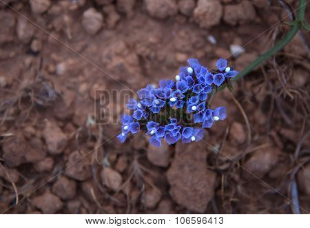 Limonium Sinuatum Or Sea Lavender Flower