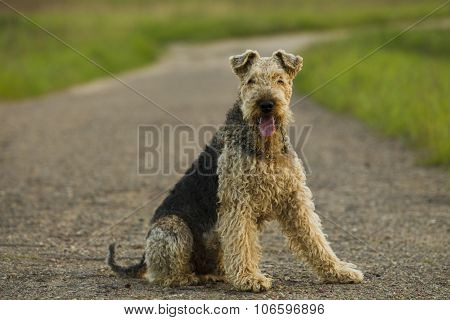 Dog. Airedale.