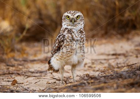 Burrowing Owl Standing On The Ground, Huacachina, Peru