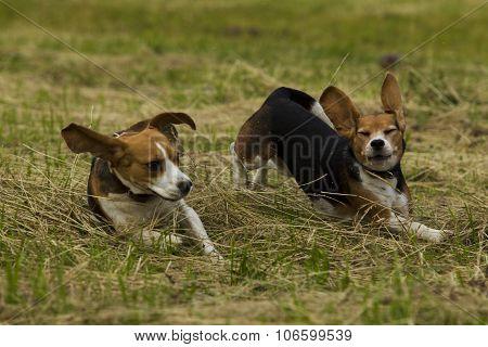 Running Beagle Dogs.