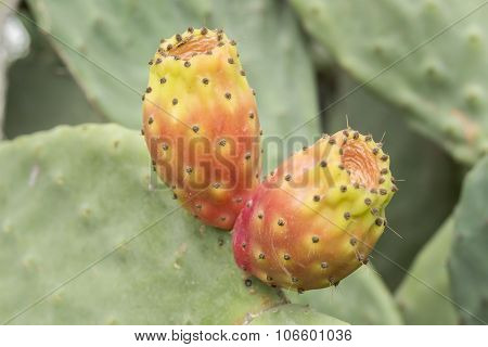 Cactaceae, Opuntia, Prickly Pears Cactus Fruitsand
