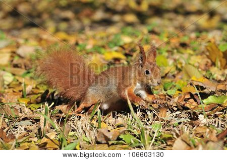 Squirrel. Squirrel - a rodent of the squirrel family.