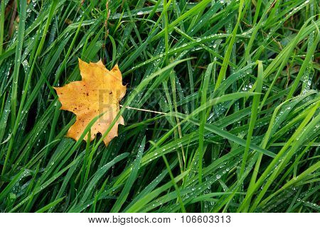 Autumn Leaf On Morning Dew Green Grass