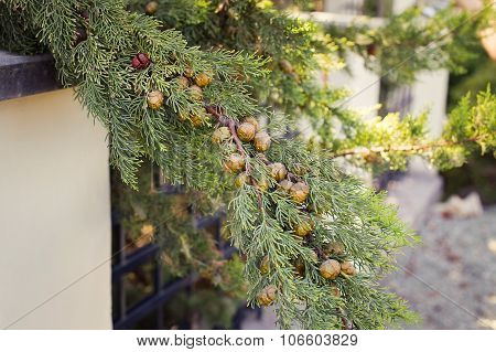 Ripe Cypress Cones On A Tree On Blurred Background