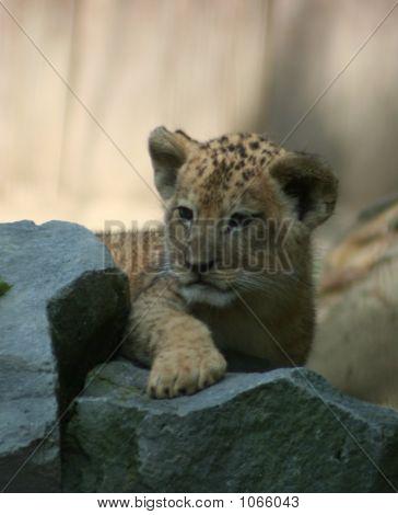 Lions 52