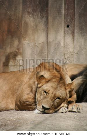 Lions 50