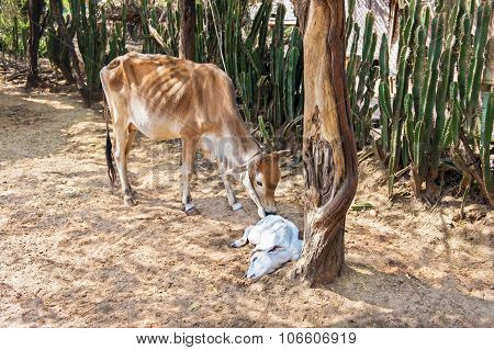 Skinny Cow With A Sleeping Calf In A Desert