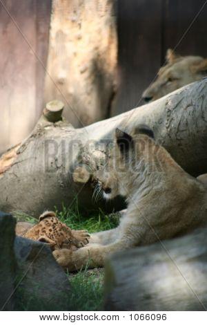 Lions 49