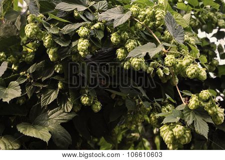 thickets of hops