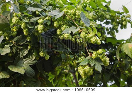 hops with ripe cones