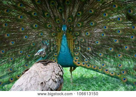 Peacock Shows Its Beautiful Tail, But Peahen Is Not Impressed