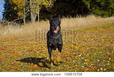 Runing Black Dog