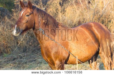 One Brown Horse With Chain In Autumn