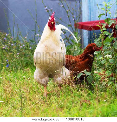 The Cock And Hen On Traditional Free Range Poultry Farm