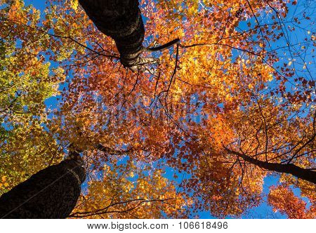 Looking Up At Bright Sunlit Fall Leaves
