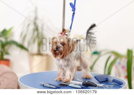 Yorkshire terrier on the table with utensils.