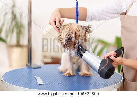 Yorkshire terrier is being groomed with hairdryer.