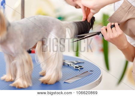 Yorkshire terrier stands quiet during procedure.